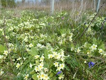 Primroses in young planted woodland, established from seed, by Woodland Trust Scotland at Formonthills Community Woodland, Fife. ©Woodland Trust Media Library