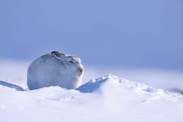 Mountain hare in its winter coat in the snow-covered Cairngorms National Park. ©Lorne Gill-NatureScot