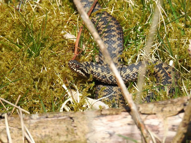 Male adder on the prowl