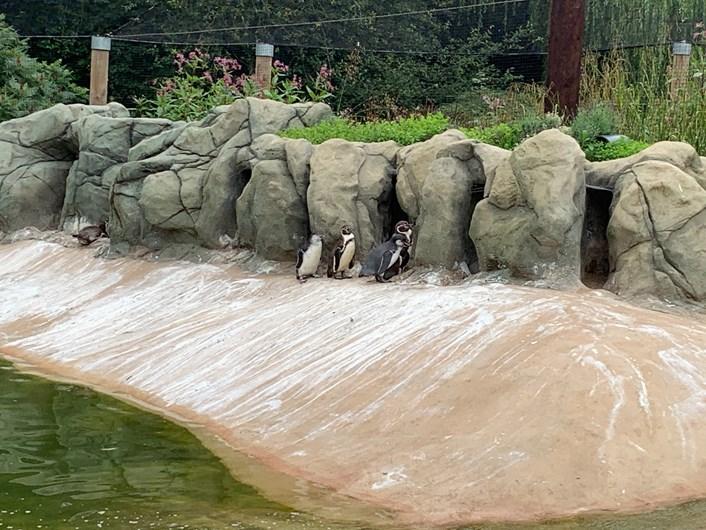 Lotherton penguin chicks: Bielsa, far lest pesters his parents at Lotherton Wildlife World.