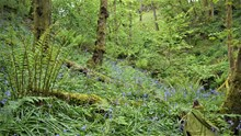 In ancient woodland there is a rich variety of attractive woodland plants such as bluebell – which flower in the spring and early summer. ©Rick Worrell