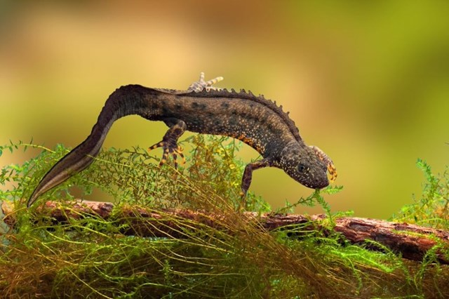 Protected species to benefit from industry first licence deal: swimming newt