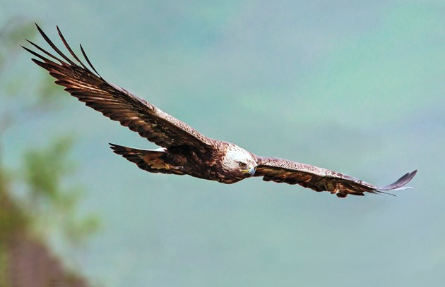 First ever Eagles' Schools initiative raises young conservationists: golden eagle-6773
