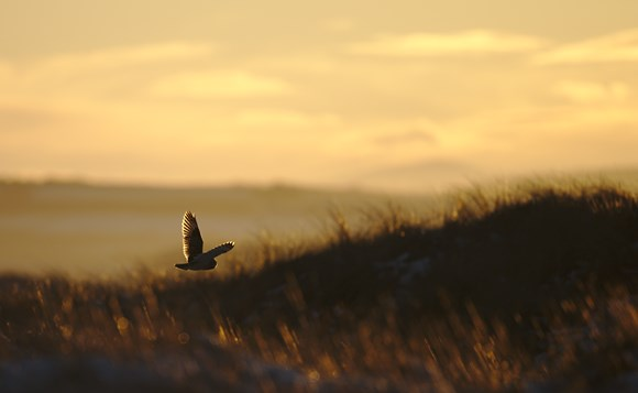SEO at sunset on the Forvie National Nature Reserve - Copyright Ron Macdonald
