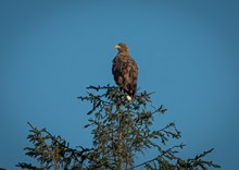 White-tailed eagle - November 2020 - credit Rae McKenzie-NatureScot