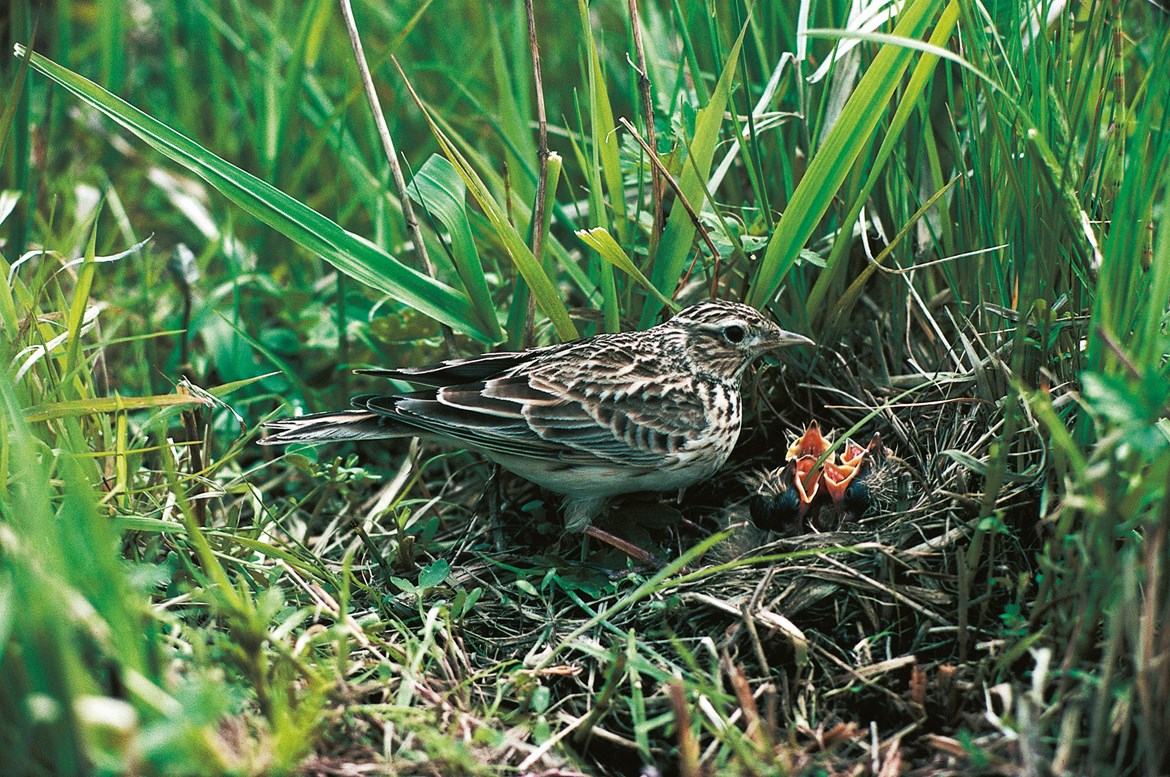 HS2 demonstrates commitment to preserving natural environment by using hi-tech thermal drone to monitor Skylarks: Thermal drones used to monitor Skylarks nests July 2020