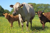 Agriculture-farming-livestock-calf: iStock - File #25115257 - 'Cows in a meadow' - 02-10-2013