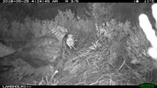 Hen harrier removing dead chick from nest
