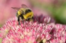 Bumblebee feeding on garden seedum ©Lorne Gill / NatureScot