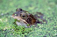 Common frog in a garden pond: Common frog in a garden pond