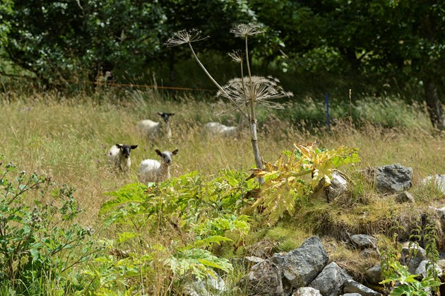 Sheep join battle against invasive plant invader: Sheep going toward giant hogweed