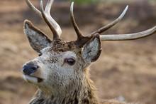Red Deer-D1186