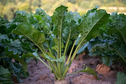 Sugar beet to return to Scotland after 50 years – this time for climate change mitigation: sugar-beet-4138196 1920