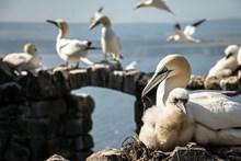 Bass Rock gannets - winning image (June) calendar - credit Danni Thompson: Bass Rock gannets - winning image (June) calendar - credit Danni Thompson