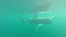 SharkCam basking shark project screenshot 2 ©WHOI