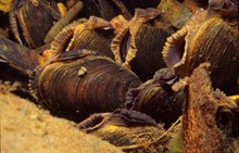 Freshwater pearl mussels: Please credit Scottish Natural Heritage (SNH) for use of picture.