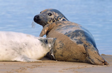 Grey seal and pup - for SM