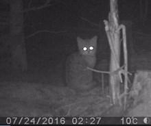 possible wildcat kitten - strathbogie