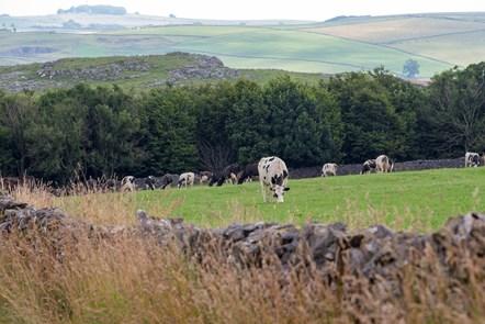 Cows on an Arla farm