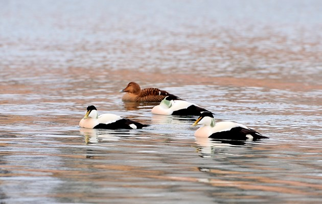 Reports confirm importance of Orkney's seas to waterbirds: Eiders-D0177a