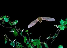 Stage One application - Images - BCT - Common pipistrelle- Hugh Clark (A3093747)