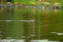 European beaver (Castor fiber) bringing aquatic vegetation back to is lodge in Loch Linne, Scottish Beaver Trial, Knapdale: European beaver (Castor fiber) bringing aquatic vegetation back to is lodge in Loch Linne, Scottish Beaver Trial, Knapdale