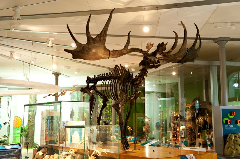 See giant prehistoric antlers at museum's festive reindeer round-up : lcm0032.jpg