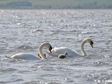 Loch Leven - mute swans