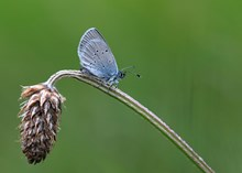 Stage One application - Images - BCS - Small Blue - Iain Cowe (2) (A3101997)