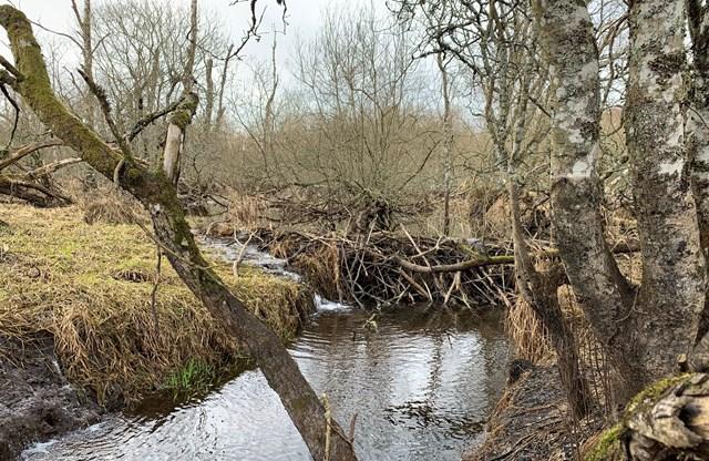 Perthshire beaver dam