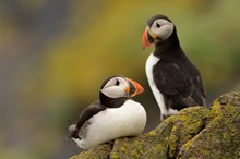Puffins on the Isle of May NNR: Puffins on the Isle of May NNR ©Lorne Gill/SNH