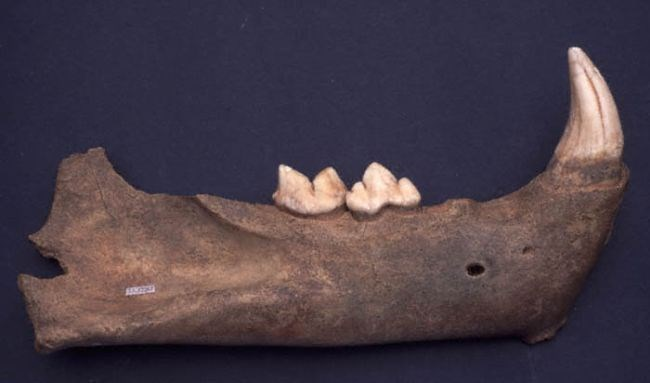 Lion Jaw: A jaw from a Cave Lion, found in Pin Hole Cave at Creswell Crags. It is up to 50,000 years old. © Creswell Crags Museum and Visitor Centre. Code Cracker players can explore a prehistoric cave and find out more about animals like this.
