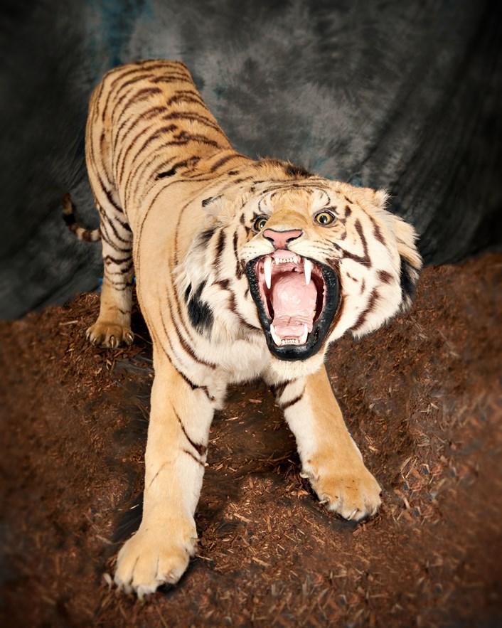 Leeds Tiger