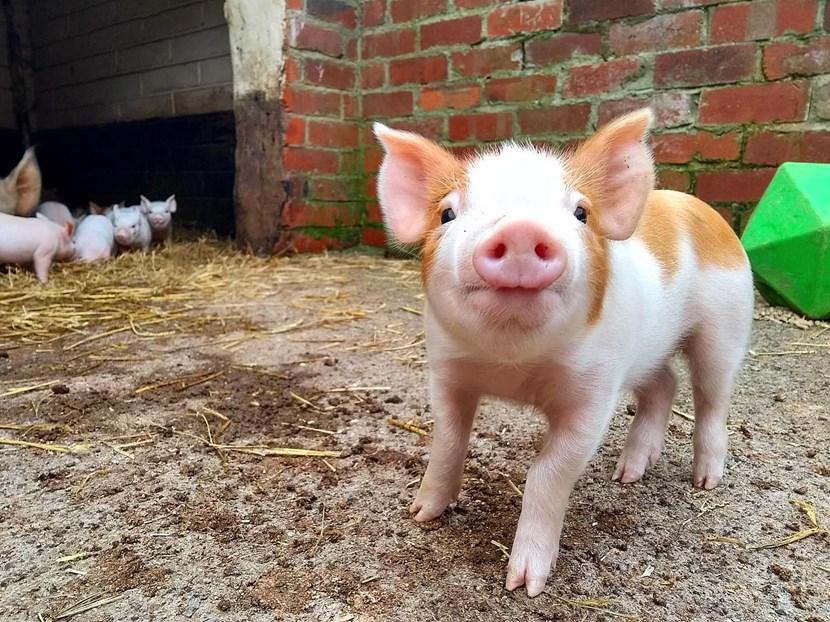 Cute new arrivals hogging the limelight as farm goes digital: IMG-20200421-WA0001