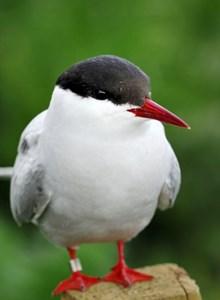 Arctic tern -D16095