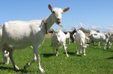 Agriculture-farming-livestock-goats: iStock - File #1637119 - 'Goats' - 02-10-2013