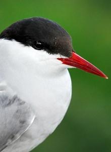 Arctic tern: Arctic tern. Please credit Scottish Natural Heritage (SNH).
