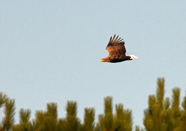 Sea eagle ©Steve Buckland