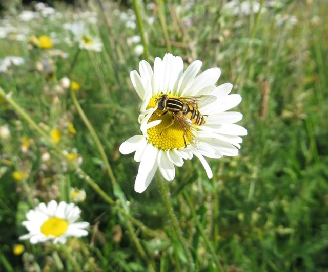 Boost for bees and butterflies: Tiger hoverfly