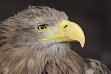 Captive white tailed eagle ©Lorne Gill / NatureScot