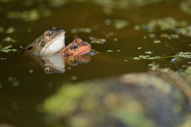 Glasgow biodiversity projects share £367k Nature fund cash: Common frogs (Rana temporaria) ©Lorne Gill
