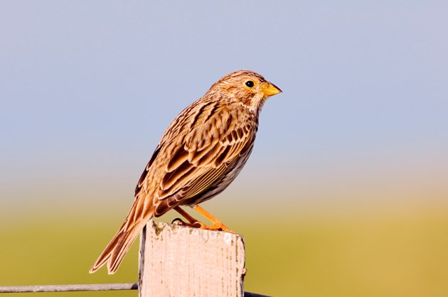 Number of at-risk corn buntings stabilises in NE Scotland: Corn bunting - Uist-D0566