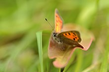 Small copper butterfly ©Lorne Gill SNH