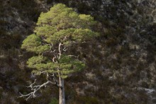 Scots pines growing beside the mountain trail at Beinn Eighe National Nature Reserve ©Lorne Gill SNH