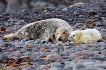 Grey seal cow and pup: Free use. Please credit Scottish Natural Heritage (SNH).