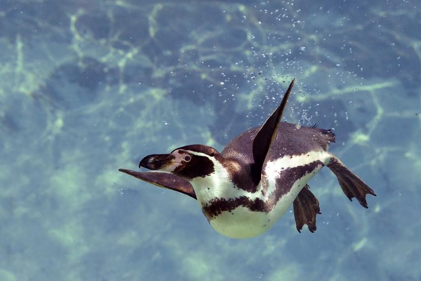 Work set to start on new Lotherton Wildlife World: penguininwatershutterstock-169228451.jpg