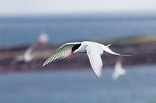 Arctic Tern in flight ©Lorne Gill/NatureScot