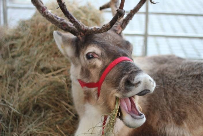 Passengers and shoppers invited to attend reindeer meet and greet and retailer giveaway at London Paddington station: Reindeer