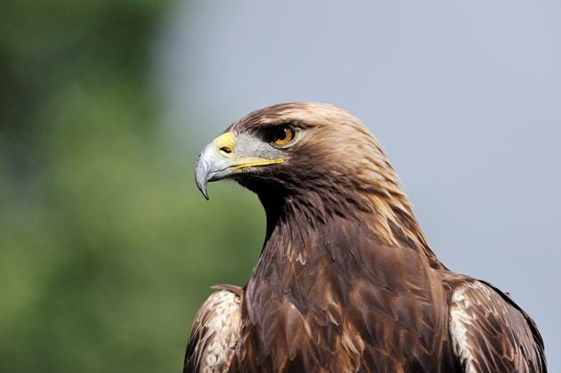 Golden eagle ©Lorne Gill/NatureScot
