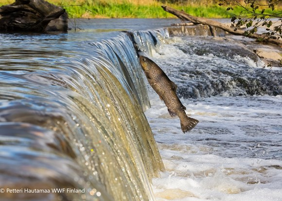 One third of freshwater fish threatened with extinction, new report warns: Threat - Brown trout trying to jump man-made river barrier in Finland © Petteri Hautamaa WWF Finland